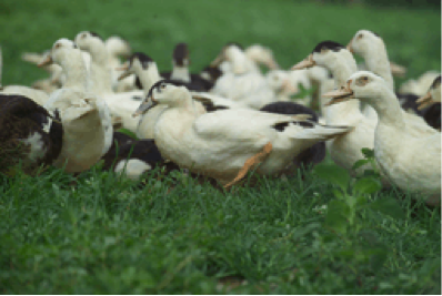 Breeding and fattening - The breeding phase